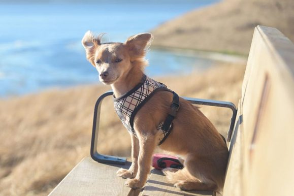Top 10 Best Chihuahua Dog Harnesses For 2020 Reviews
