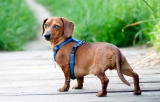Top 10 Best Dachshund Dog Harnesses for 2020 Reviews