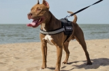 Top 10 Best Pitbull Harnesses for 2020 Reviews
